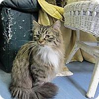 Adopt A Pet :: Chiffon - Kingston, WA