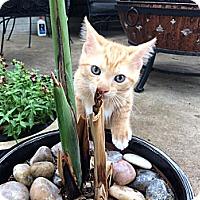 Adopt A Pet :: Scout - Dallas, TX