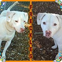 Adopt A Pet :: Freckles - Tampa, FL