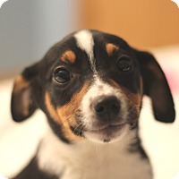 Adopt A Pet :: Tinley - Romeoville, IL