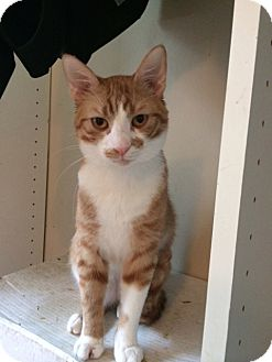 Domestic Shorthair Cat for adoption in Los Angeles, California - Phoenix