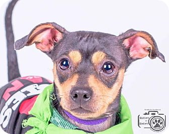 Dachshund/Miniature Pinscher Mix Dog for adoption in Colorado Springs, Colorado - Toby