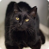 Domestic Shorthair Cat for adoption in Grayslake, Illinois - Flap Jack