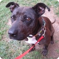 American Staffordshire Terrier Mix Dog for adoption in Van Nuys, California - *URGENT* BELLA