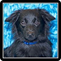 Adopt A Pet :: Audie - San Diego, CA