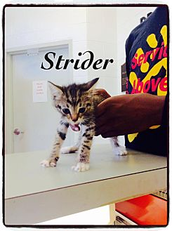 Domestic Shorthair Kitten for adoption in Dillon, South Carolina - Strider