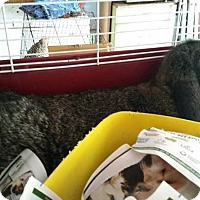 Adopt A Pet :: Honey - Greenfield, IN