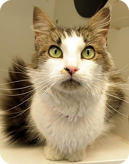 Domestic Mediumhair Cat for adoption in Sterling, Massachusetts - Brownie 4years Female