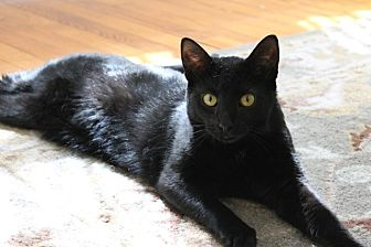Domestic Shorthair Cat for adoption in Bryn Mawr, Pennsylvania - Onyx/loves to play and purr