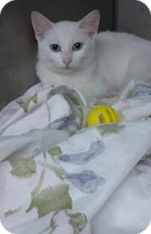 Domestic Shorthair Kitten for adoption in Whitestone, New York - Ivory