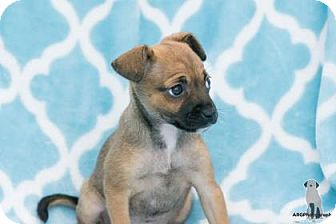 Chihuahua Mix Puppy for adoption in Santa Fe, Texas - Lorelei