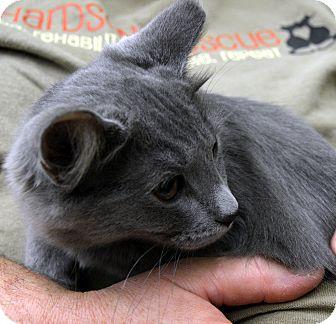 Domestic Mediumhair Kitten for adoption in Richmond, Virginia - Bluz