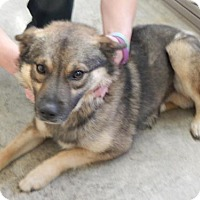 Norwegian Elkhound Mix Dog for adoption in Pikeville, Kentucky - Gary