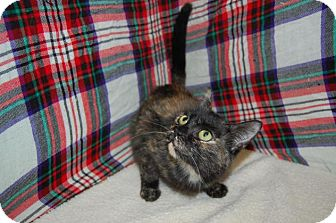 Calico Cat for adoption in South Haven, Michigan - Shaniqua