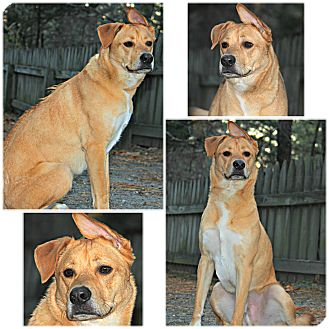 Rhodesian Ridgeback/Golden Retriever Mix Dog for adoption in Forked River, New Jersey - Oliver