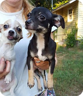 Chihuahua Puppy for adoption in Rock Hill, South Carolina - Joe Dirt