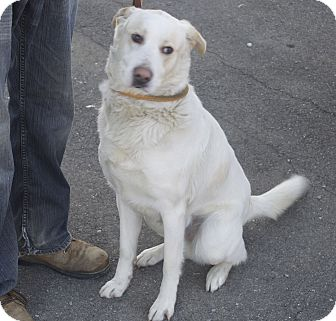 Labrador Retriever Mix Dog for adoption in New Cumberland, West Virginia - Jay