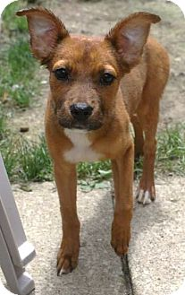 Terrier (Unknown Type, Small)/Boxer Mix Puppy for adoption in North Olmsted, Ohio - Lindsay