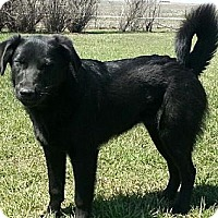 Labrador Retriever/Golden Retriever Mix Dog for adoption in Eldora, Iowa - Ava...waiting