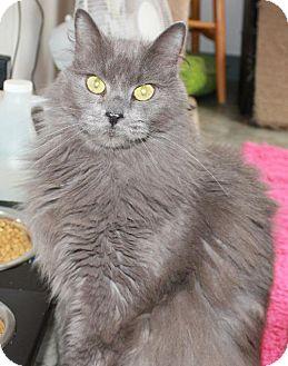 Domestic Mediumhair Cat for adoption in Red Deer, Alberta - Sam
