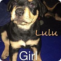 Adopt A Pet :: Lulu - Salem, MA