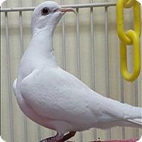 Adopt A Pet :: Watto - Denver, CO