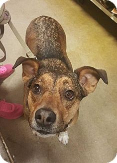Shepherd (Unknown Type)/Cattle Dog Mix Dog for adoption in South Bend, Indiana - Daisy Duke