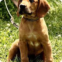 Adopt A Pet :: Aaden - Allentown, PA