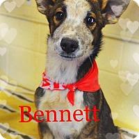 Adopt A Pet :: BENNETT - Blue Eye! - Chandler, AZ