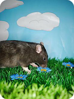 Rat for adoption in Welland, Ontario - Calamity