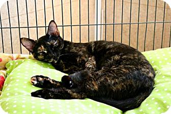 Domestic Shorthair Cat for adoption in Killeen, Texas - Jazz