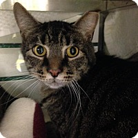 Domestic Shorthair Cat for adoption in Pittsburgh, Pennsylvania - Johnny