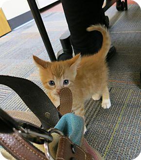 Domestic Shorthair Kitten for adoption in Geneseo, Illinois - Usain