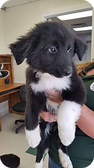 Border Collie/Newfoundland Mix Puppy for adoption in Manchester, New Hampshire - Bo - pending