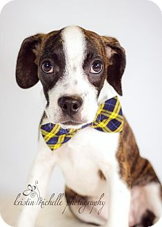 Boston Terrier/Beagle Mix Puppy for adoption in St. Louis Park, Minnesota - Babe  - No Longer Accepting Applications 10/17/16