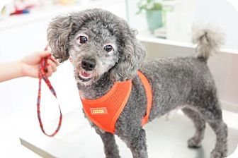 Poodle (Miniature) Dog for adoption in Vancouver, British Columbia - Wu Da Lang