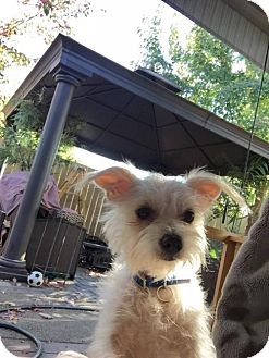 Terrier (Unknown Type, Medium) Dog for adoption in Custer, Washington - Marcella (Marshmellow)