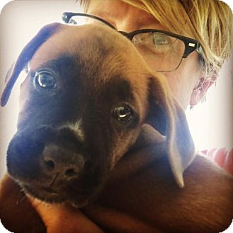 Boxer Mix Puppy for adoption in Memphis, Tennessee - Laila