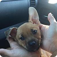 Adopt A Pet :: Xena - Homestead, FL