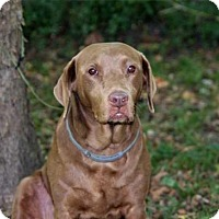 Labrador Retriever Dog for adoption in Brattleboro, Vermont - ROXY