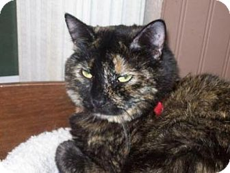 Calico Cat for adoption in Kelso/Longview, Washington - Cameo