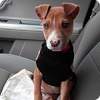 Adopt A Pet :: Shelby - Burlington, NJ
