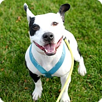 Adopt A Pet :: Brina (aka Disco)Foster needed - Detroit, MI