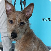 Adopt A Pet :: Scrappy - Chicago, IL