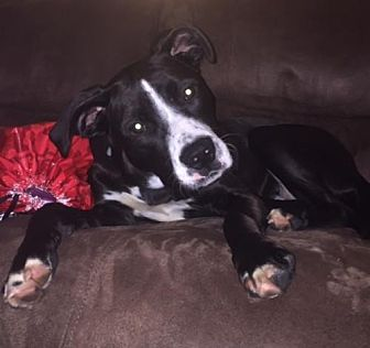 Pit Bull Terrier Mix Dog for adoption in Crestview, Florida - Tiffany