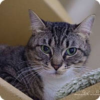 Domestic Shorthair Cat for adoption in Flower Mound, Texas - Penelope