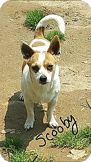 Jack Russell Terrier/Chihuahua Mix Dog for adoption in Niagra Falls, New York - Scooby