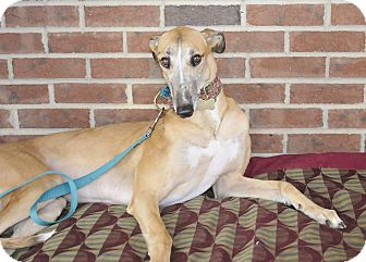 Greyhound Dog for adoption in Lexington, South Carolina - Dolly