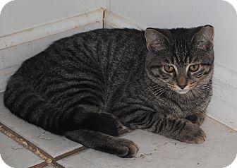 Domestic Shorthair Kitten for adoption in Middletown, New York - Dorothy