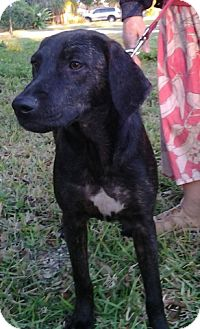 Plott Hound Dog for adoption in Palm Harbor, Florida - Mable
